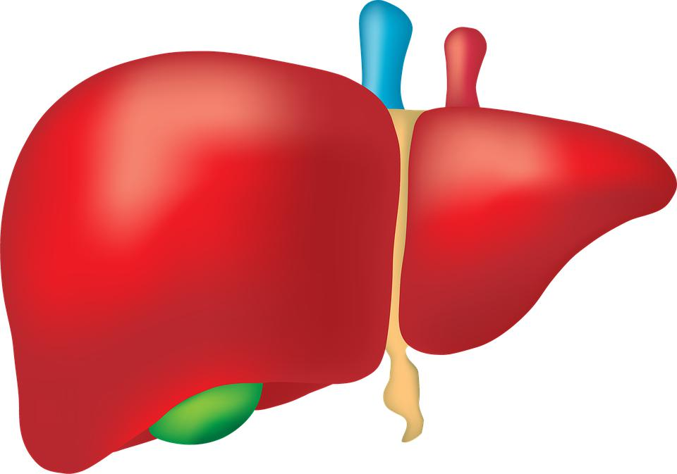 Liver The Largest Internal Organ Of The Human Body